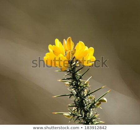 Gorse Flower in Sunlight Stock photo © suerob