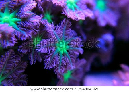 coral polyps Stock photo © photohome