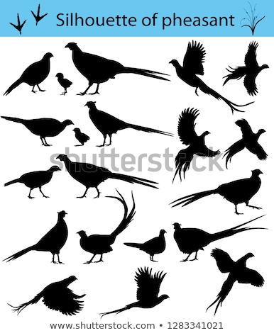 silhouette of pheasant Stock photo © perysty