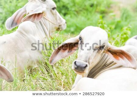 Two brahman zebu cows Stock photo © sherjaca