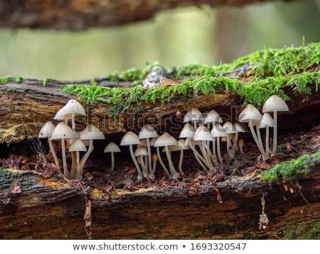 Grzyb nowo spadek grzyby sezon mały Zdjęcia stock © suerob