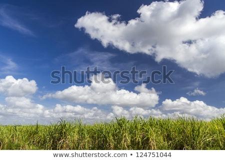 Sugar Cane Plantation On The Island Of Cuba Stok fotoğraf © haraldmuc