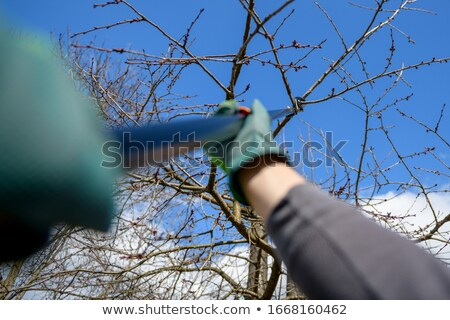 man with gloves is cutting branches from tree stock photo © carenas1