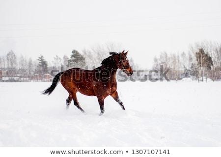 Beautiful brown horse Stock photo © Zhukow