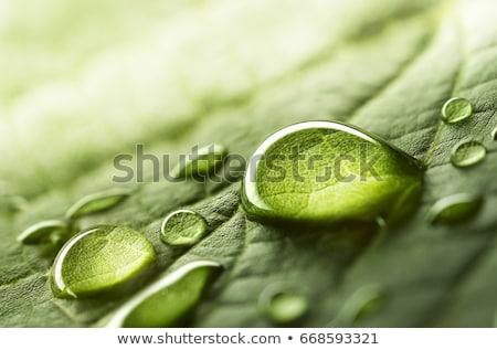 Kroplami wody świeże zielony liść lata zielone roślin Zdjęcia stock © ryhor