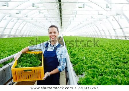 Jovem verde alface estufa crescido fino Foto stock © franky242