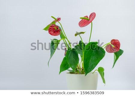 flamingo lily stock photo © nito
