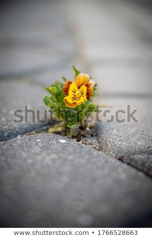 bloem · bloemen · trottoir · foto - stockfoto © kirpad
