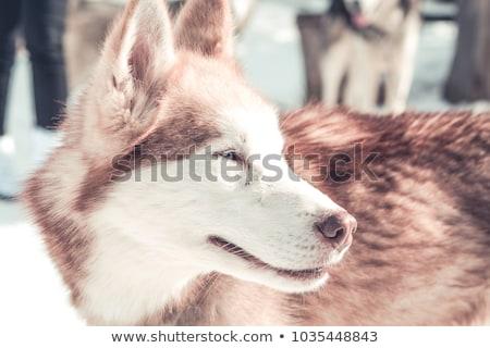 красный Husky щенков вид сбоку изолированный белый Сток-фото © silense