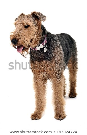 Stock photo: Airdale Terrier staying in the white studio
