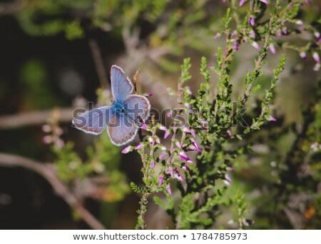 Heath, close up Stock photo © AvHeertum