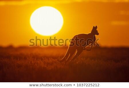 sunset kangaroo australia stock photo © lovleah