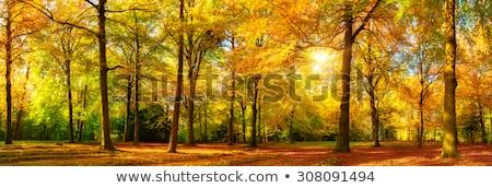ősz erdő napsugár színes égbolt fa Stock fotó © limbi007