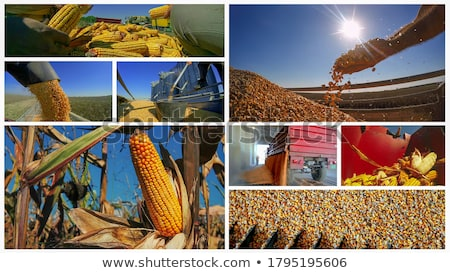 Photo collage of corn maize in agriculture Stock photo © stevanovicigor