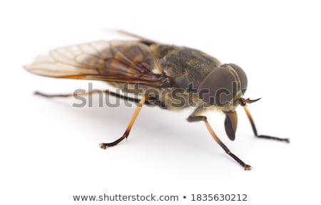 Gadfly macro Stock photo © digitalr