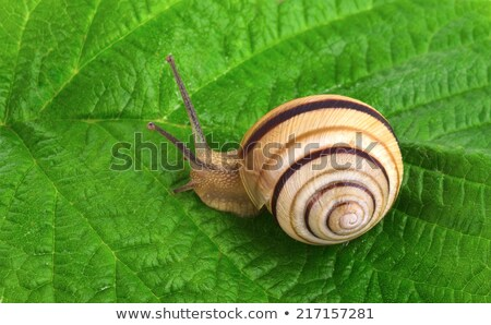 Snail on leaves on a green leaf in the spring Stock photo © FreeProd