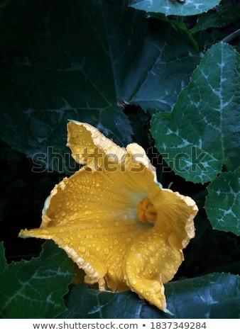 Fraîches jaune citrouille fruits saine Photo stock © Digifoodstock