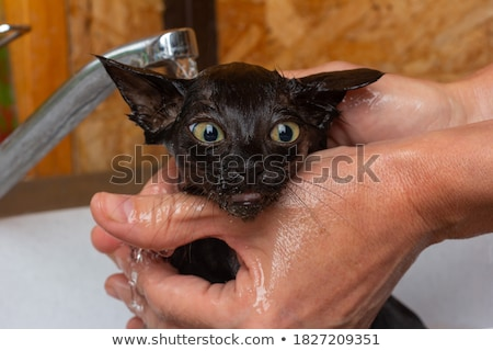 Woman hands bathing a cute kitten Stock photo © ilona75