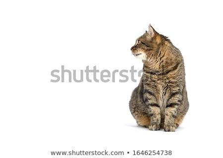 Portré imádnivaló macska stúdiófelvétel izolált szürke Stock fotó © vauvau