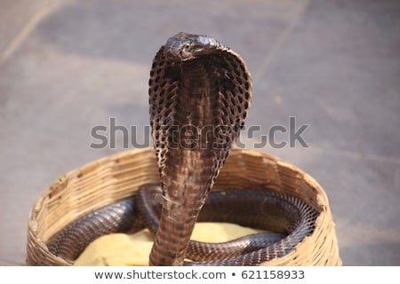 Kobra yılan sepet örnek turizm Arapça Stok fotoğraf © adrenalina