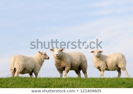 白 · 羊 · 草 · 典型的な · オランダ語 - ストックフォト © ivonnewierink