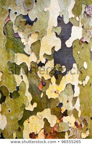 Bark Of The Platan Tree. Texture Stock photo © franky242