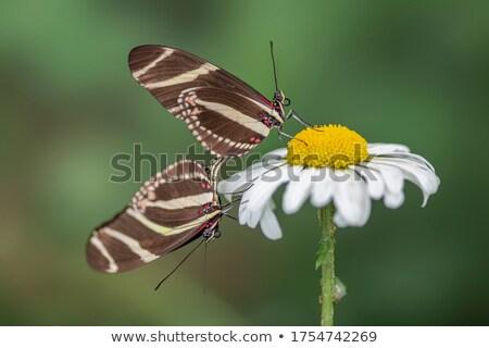 Zebra pillangók közelkép lövés pár tavasz Stock fotó © macropixel