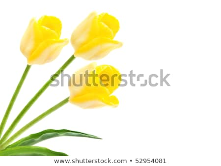 Triomphe tulipe jaune isolé blanche fleurs Photo stock © Photocrea