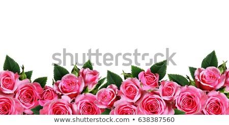 Rózsaszín rózsák keret kollázs kert izolált Stock fotó © vavlt