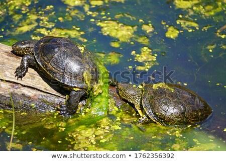 geschilderd · schildpad · vijver · reflectie · meer · dier - stockfoto © rhamm
