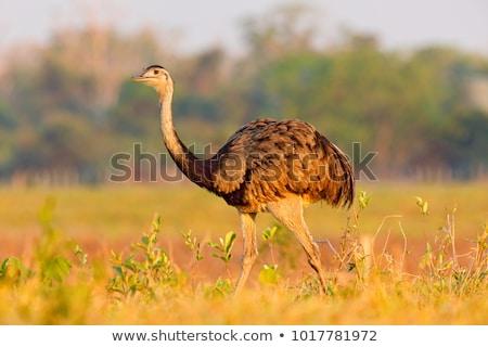Greater Rhea (Rhea americana) Stock photo © dirkr