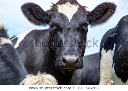 vaca · céu · grama · verde · fazenda · queijo - foto stock © richardjary