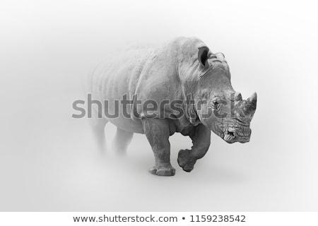Black Rhino walking Stock photo © ottoduplessis