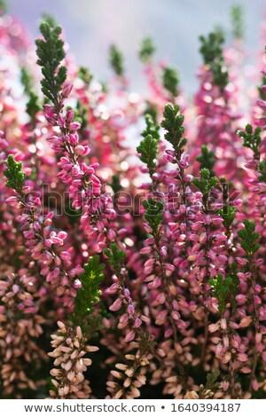 heather flower close up stock photo © olandsfokus