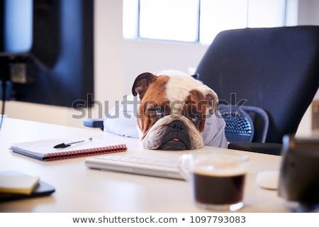 Kutya fáradt bulldog nyújtott hát pihen Stock fotó © willeecole