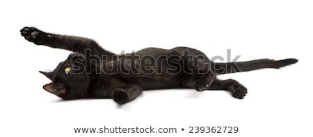 Black cat lying isolated Stock photo © michaklootwijk