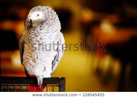 cabeça · vermelho · plumagem · branco · bico - foto stock © dariazu
