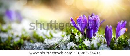 Blüte · Wiese · erste · Frühling · Krokus · Blumen - stock foto © smuki