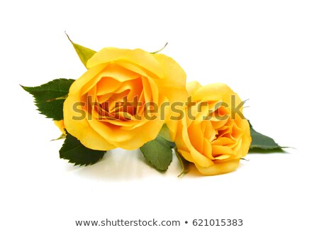 Yellow Rose Petals Stock photo © PetrMalyshev