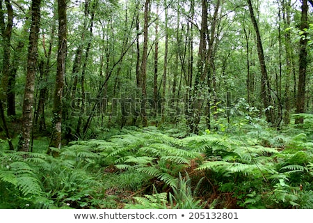 forest, Brittany, France Stock photo © phbcz