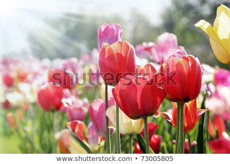 Magenta primavera tulipani erba verde gocce d'acqua angolo Foto d'archivio © zhekos