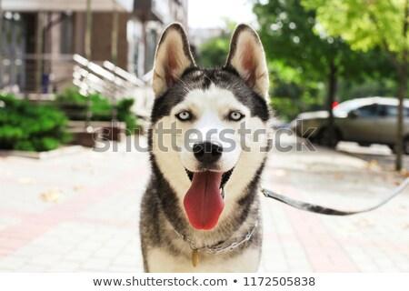 かわいい 犬 耳 白 ストックフォト © wavebreak_media