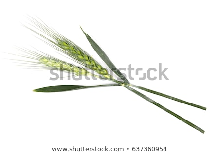 jovem · trigo · orelhas · isolado · branco · natureza - foto stock © stefanoventuri