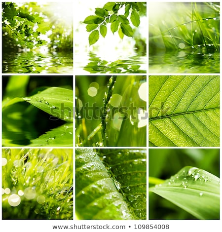 Green maple leaves background and dew drops Stock photo © orensila