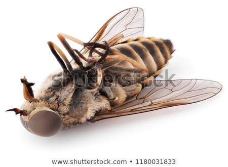 Macro shot of dead gadfly Stock photo © digitalr