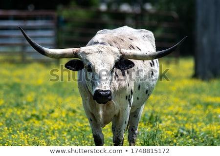 Longhorn cattle walking in field Stock photo © IS2