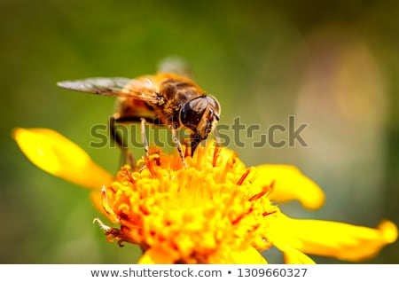 Stock photo: Bee collects nectar from flower crepis alpina