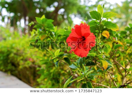 Red hibiscus in green bush Stock photo © colematt