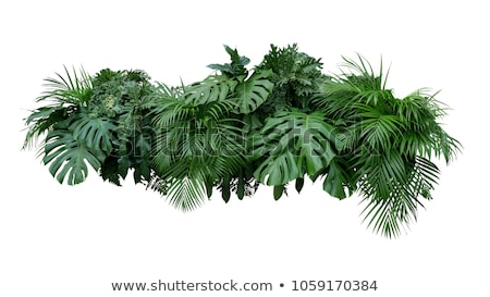 Tropical tree with green leaves isolated on white background. Vector cartoon close-up illustration. Stock photo © Lady-Luck