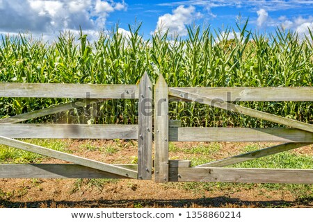 Milho Austrália fazenda crescente Foto stock © lovleah